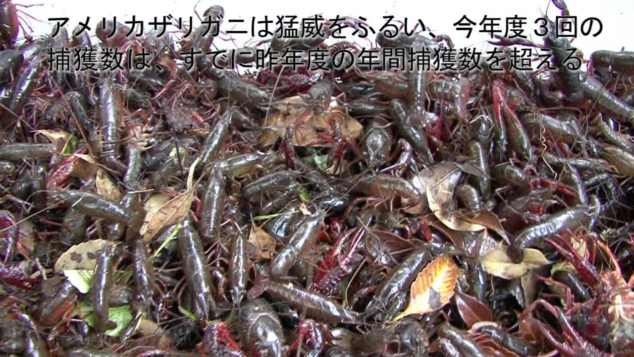 アメリカザリガニの画像 p1_27