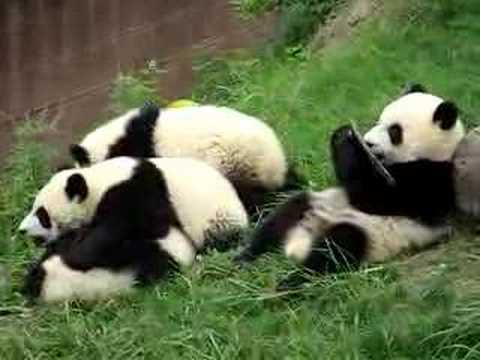 Baby Panda Fighting - Pandas video - Fanpop