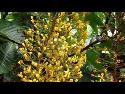 Stingless Bee  Lebah Kelulut Ambil Nectar Bunga Lantern                       By Glen Bee Farm