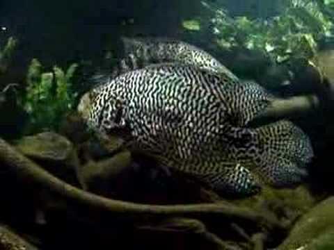 Parachromis managuensis lake Managua (XXXL) Jaguar cichlid
