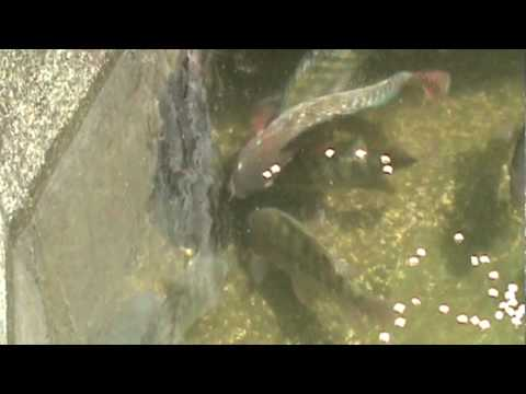 Diese erstaunliche entdeckung for Criar mojarras en casa