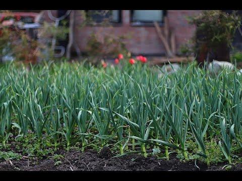 Технология выращивания озимого чеснока на кубани 16