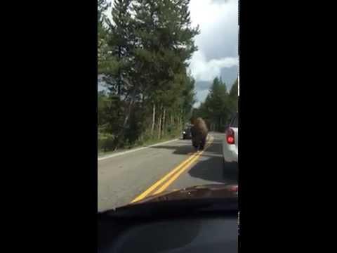 Bison Running Down the Road, Yellowstone, Wyoming