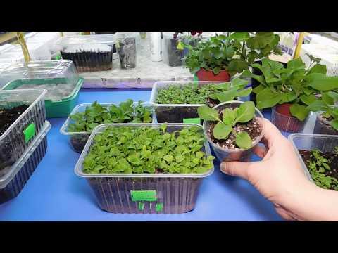Когда сажать гортензию семенами на рассаду 15