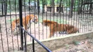 Tiger Cage Fight