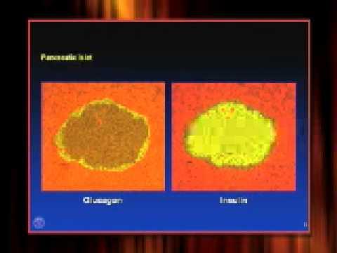 Pancreas Function And Location Human Pancreas Location
