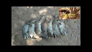 Supervivencia: Trampa de lazo para conejos, caza y cocinado