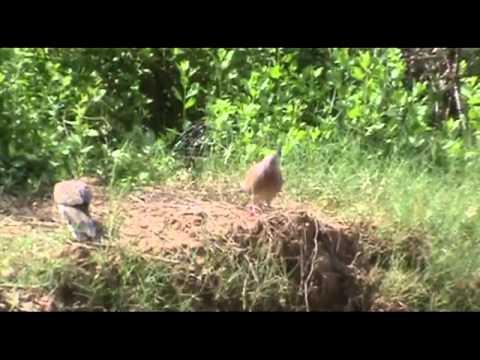 Bay chim cu gay (Mồi Lông Gạch)