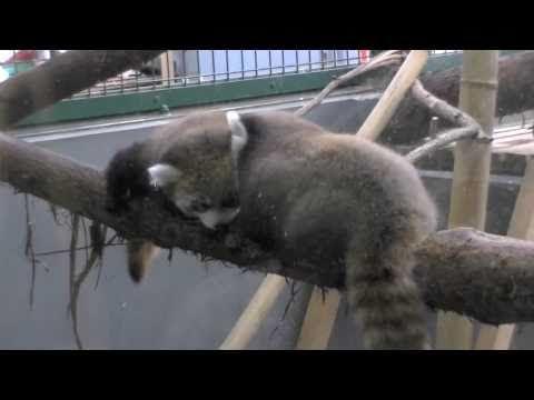 レッサーパンダの赤ちゃん(円山動物園)