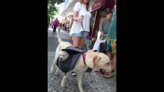 犬用のハイキングバッグに子犬を入れてお散歩する犬