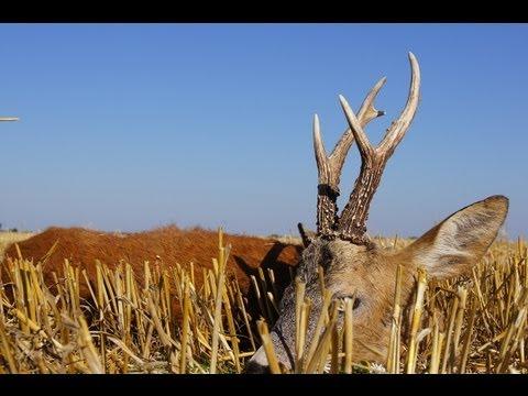 Roe buck hunting in Poland - rut (www.ultimatehunting.eu) Bukkejagt  Polen