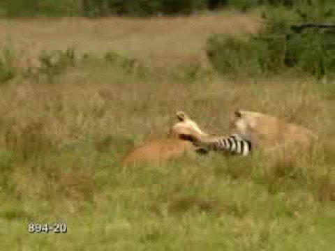 Lion Zebra Mix Cheetah vs Lion vs Zebra vs