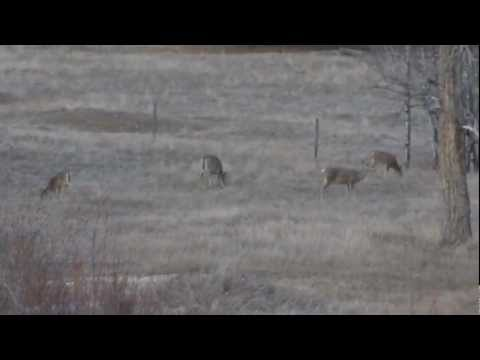 Whitetail Deer Video Cute Doe & Fawn In yard Montana Wildlife Bitteroot Valley Animals Mule Deers