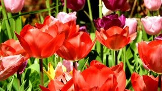 AWESOME DIY IDEAS FOR YOUR TULIPS GARDEN