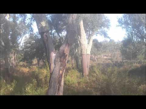 Galinholas,Ze Pedro Comenda(becada,becasse,beccaccia,woodcock hunting)