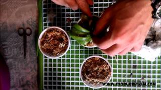 Nepenthes Saksı Dikimi. How to Repot Nepenthes