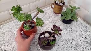 Эчеверия и эониум.  Каменная роза. Мои первые цветы в Израиле.