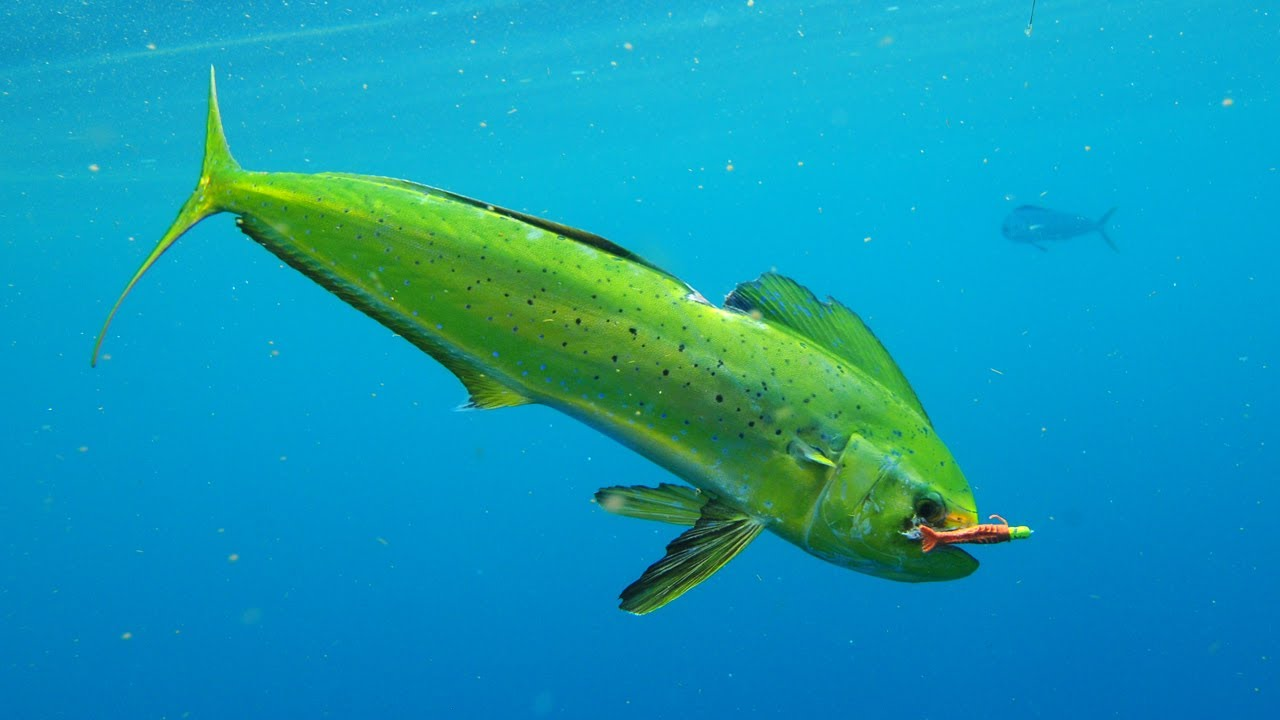 Saltwater experience dolphin on fly with sheldon season for What saltwater fish are in season now