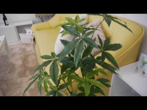 【光触媒】 人工 パキラ オリジナル寄せ植え+スクエア【ホワイト陶器鉢】