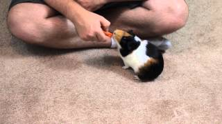 How to Teach Guinea Pigs to do Circles