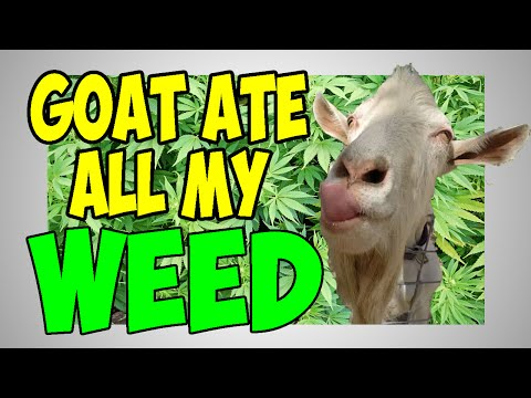 GOAT ATE ALL MY WEED