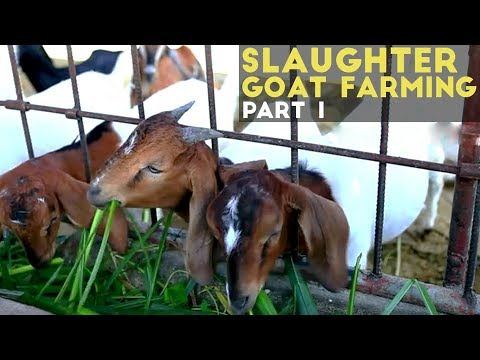 Slaughter Goat Farming Part 1 : Slaughter Goat Farming in the Philippines | Agribusiness Philippines