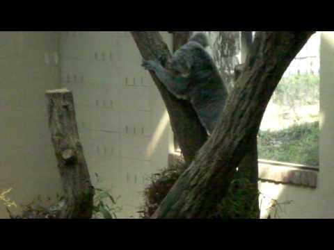 王子動物園コアラ 木を下る