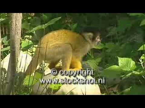 doodshoofdaap - squirrel monkey - saimiri sciureus Video