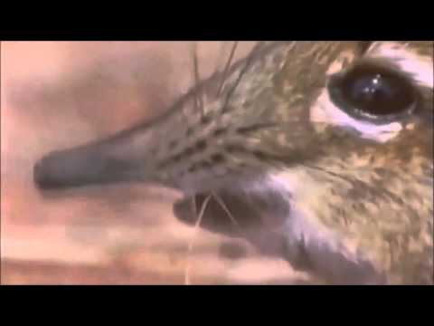 ELEPHANT SHREW LICKS ITS SNOUT WHILE I PLAY UNFITTING MUSIC