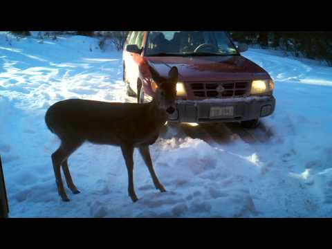 Funny Animal Video - pSyCHo deer stalking me - thinks I'm his BFF