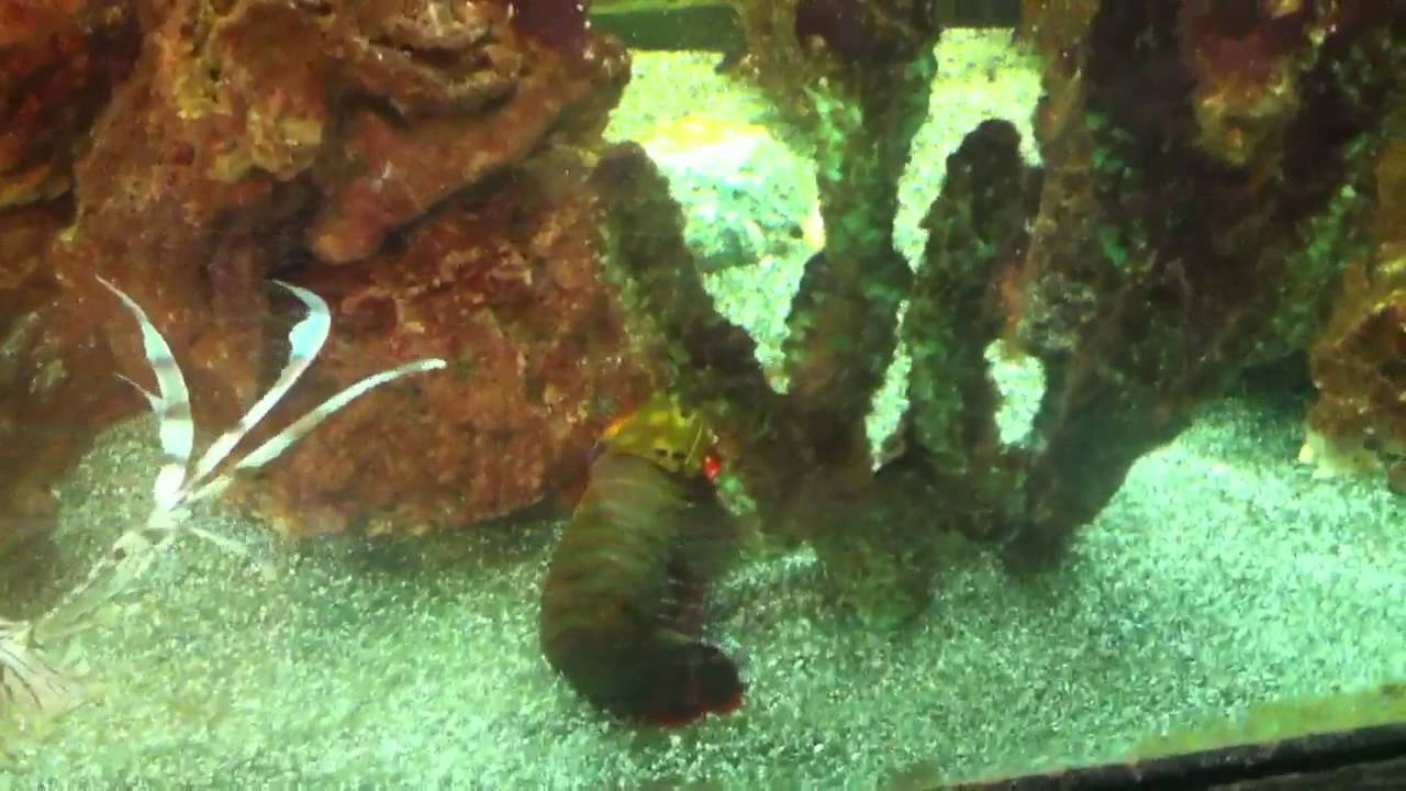 how to catch mantis shrimp in the wild