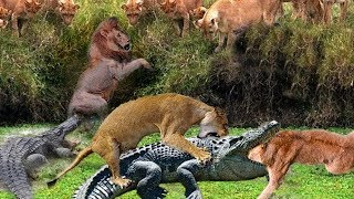 Unbelievable! Lions can defeat the crocodile just below the river, Crocodile too weak