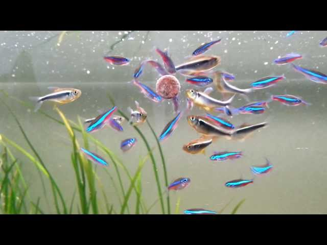 most beautiful fish the neon tetra - feeding a school of 53 individuals