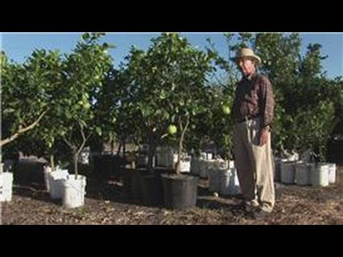 Growing Citrus Fruits : How to Prune a Citrus Tree