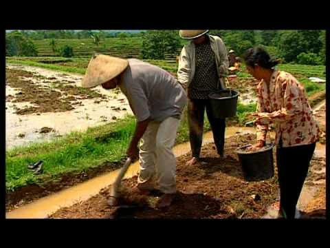 SRI English  Part 2 of 3 System of Rice Intensification ADRA
