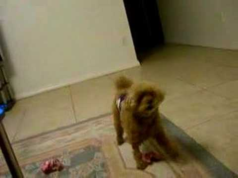 VERY KUTE POODLE BARKING Video