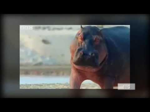 Hippo swallows human: Paul Templer survives attack by hippo