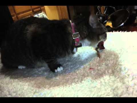 Tigress eating whole prey