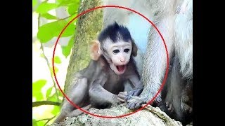 Ah!What's wrong on newborn baby Janet?,Baby Janet super lovely baby monkey