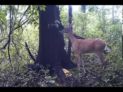 Veado Peidando na Floresta