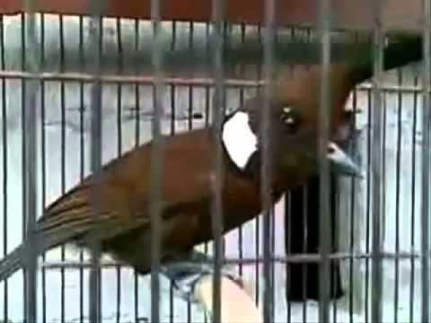Suara Burung Cililin Untuk Master Burung Kacer Cucak Ijo Murai video