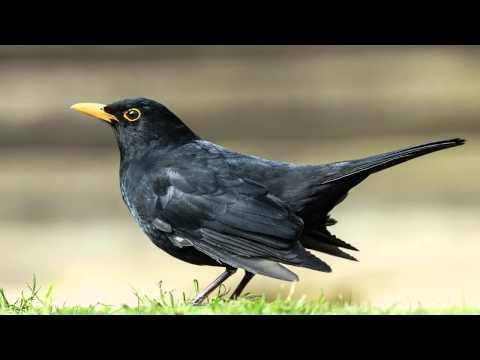 Звуки Природы. Пение птиц - Чёрный дрозд - Голоса птиц.
