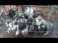 Best Racing Homer Pigeons Breeding Loft Cages Breeding Pigeon Day Activity Pigeon Market Net mp3