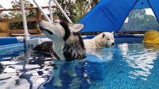 Snow Dogs Jump In Pool | Caught On Security Camera
