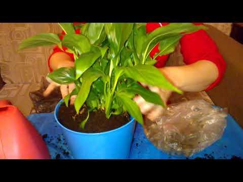 Какие земли надо сажать цветы спатифиллум 27