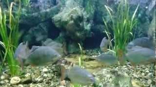 pirañas piranhas fish peces carnívoros pirañas vientre rojo acuario zoologico Wikipedia FULL HD