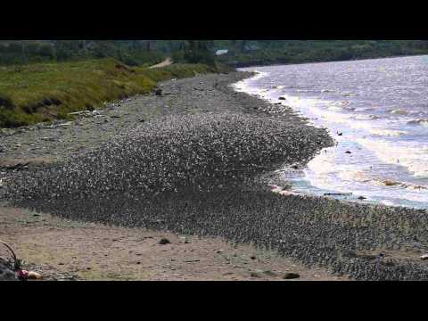 The Sandpipers of Shepody Bay New Brunswick