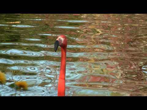 American Flamingo or Caribbean Flamingo (Phoenicopterus ruber ruber) / Kuba-Flamingo Video