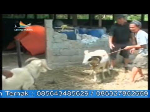 Budidaya Ternak Domba Garut (liputan Indosiar) video