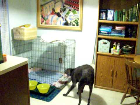 most funny stand up comedy sketch ever Weimaraner dog runs from med unlocks cage double locked Video